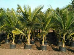Green Coconut Plant