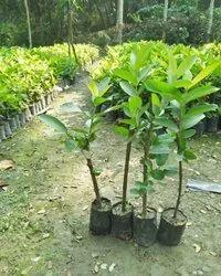Taiwan Pink Guava Plant