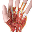 Structural Anatomy Of The Hand 3 Part