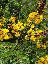Peltophorum Tree