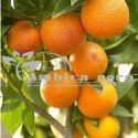 KINNO FRUITS PLANTS