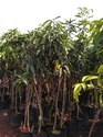 Panchadara Kalisam Mango 2 Years Plant