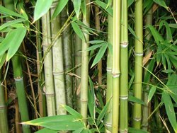 Bamboo Grass Tree