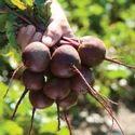 Zeppo RZ F1 Beet Root Seeds