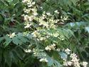 Sophora Japonica Extract Quercetin