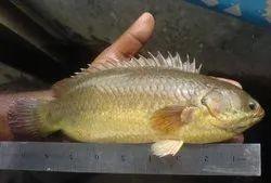 Zebra Danios Black Vietnam Koi Fish, Size: 18 inch, 2 day