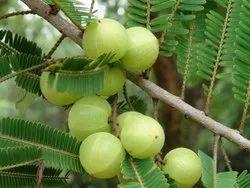 Organic Emblica Officinalis Indian Gooseberry, Packaging Type: Gunny Bag