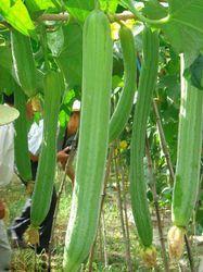 Bottle Gourd Seed - Safed Ghoda ( Hybrid)
