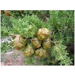 Organic Cypress Oil