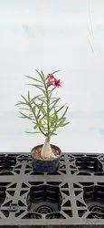 Hybrid Adenium Plant