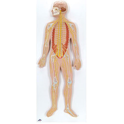 Nervous System, 1/2 life size