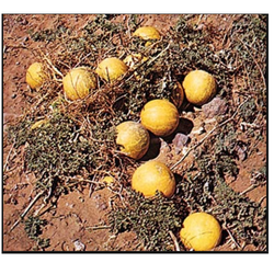 Indrayan ( Citrullus Colocynthis)