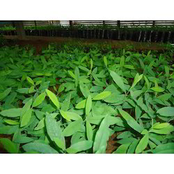 Nursery White Sandalwood Plant