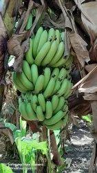 Cavendish Banana | Quality Exporters | Exporter in Vivekanand Nagar
