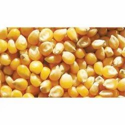 Dry Popcorn Maize Seeds, High in Protein