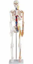 Skeleton 85 Cms With Nerves & Blood Vessels