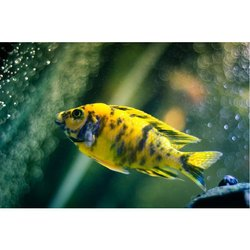 Cichlid Aquarium Fish, 10 To 20 Yrs, Packaging Type: PP Bag