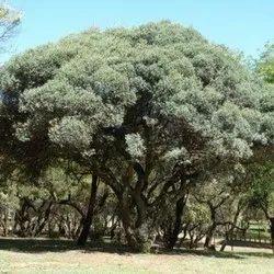 Kigelia Tree