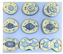 Laboratory Model - The Model Of Cell Mitosis (9 Parts)