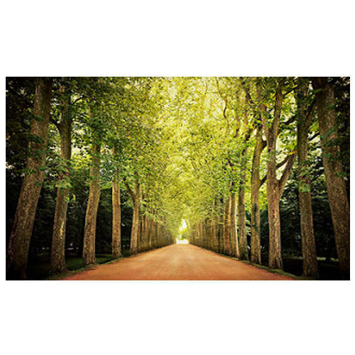 Live Outdoor Plants Road Side Tall Trees Manufacturer