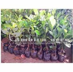 Jackfruit Grafted Plants