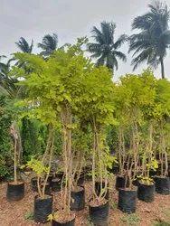 Square Polypropylene dismodiyam plant, For Garden