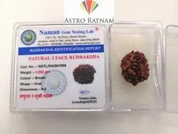 3 Mukhi Rudraksh Original Three Faced Rudraksha 100% Natural