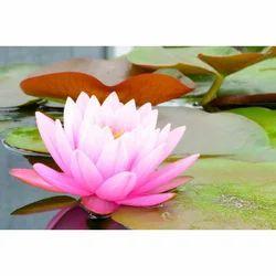 lotus-flower-250x250.jpg