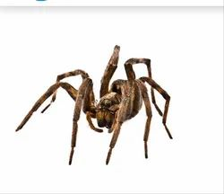 Wolf Spiders Pest Control Services