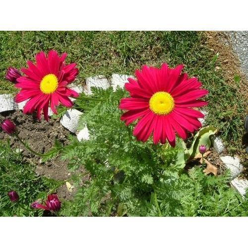 Daisy Flower Plant Barberton Daisy Gerbera Plant गरबर