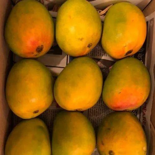 Greenish Yellow Alphonso Mango Alphanso Mango