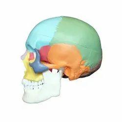 Coloured Skull Model