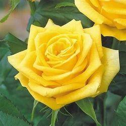 Dutch Rose Flower À¤¡à¤š À¤— À¤² À¤¬ À¤¡à¤š À¤° À¤œ In Chinna Elasagiri Hosur Meena Impex Id 16081920112 Enjoy and share your favorite beautiful hd wallpapers and background images. dutch rose flower डच ग ल ब डच र ज