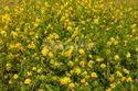 Mustard Food Grains