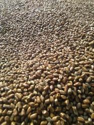 Brown Natural Cassia Tora Seeds, Packaging Type: Pp Bag, Packaging Size: 50 Kg