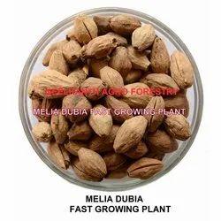 Malabar Neem Seed