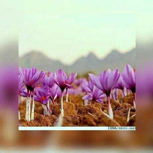 Kashmiri Saffron Saffron Bulbs Sarooja Saffron, Rs 1100 ...Kashmiri Saffron Bulbs