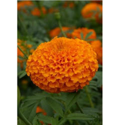 Marigold Flower Seeds MG- 59