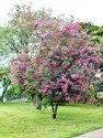 Pansare Nursery Natural Bauhinia Purpurea Plant, For Garden, Packaging Type: Bag