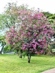 Pansare Nursery Natural Bauhinia Purpurea Plant, For Garden, Packaging Type: Bag