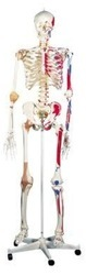 Life Size Skeleton Models With Muscles And Ligaments