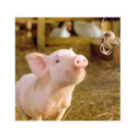 Pig Starter Feed