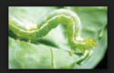 Biopesticides Bollworm & Caterpillar Special