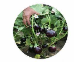 Avinash Brinjal Seeds
