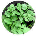 Green Coriander Leaves