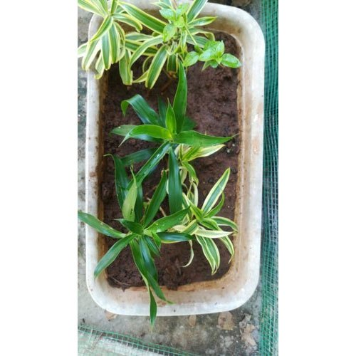 Well Watered Indoor Garden Plant Dracaena Reflexa Rs 30 Piece Id 21806486062