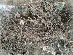 Vetiver - Vetiveria Zizanioides - Khus Khus