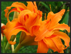 Orange, Pink, Brown Daylily Colorful Flowers Bulb