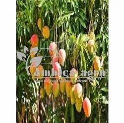 Neelam Mango Plants