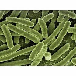 Nitrobacter Bacteria